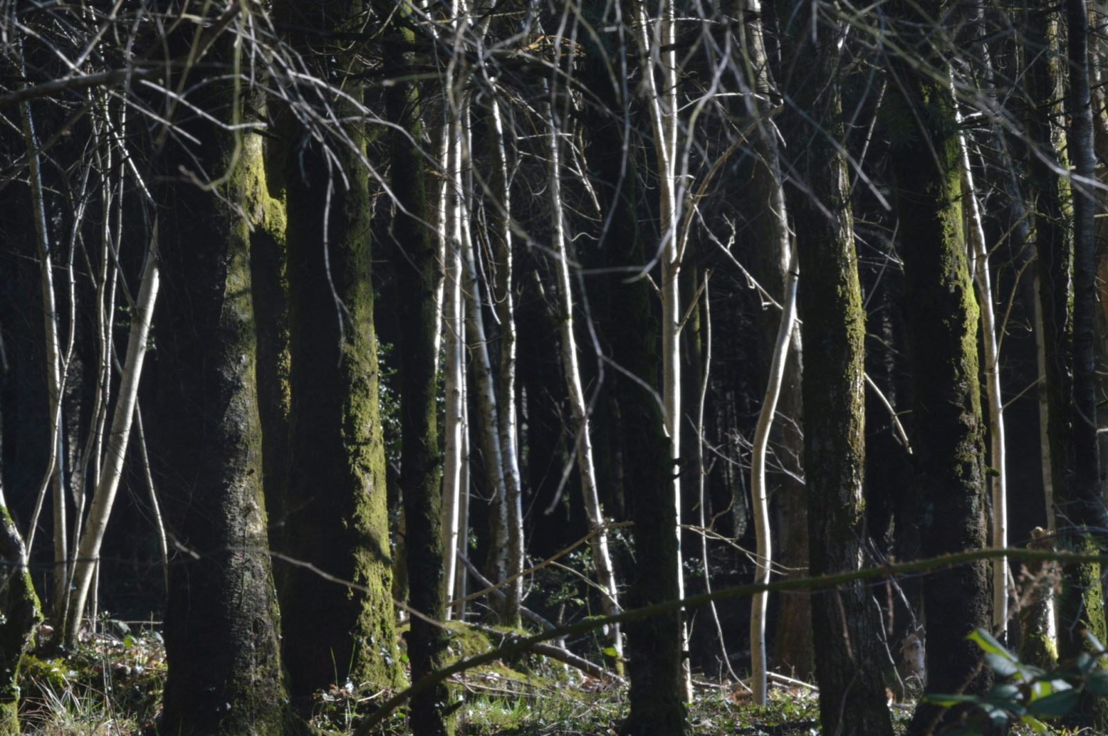 Grey, moss-covered tree trunks and white tree trunks in the sunlight. Photograph of the verticality of trees.